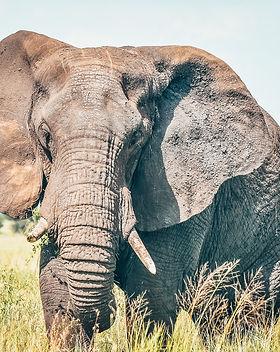 Elephant in Tanzania.jpg