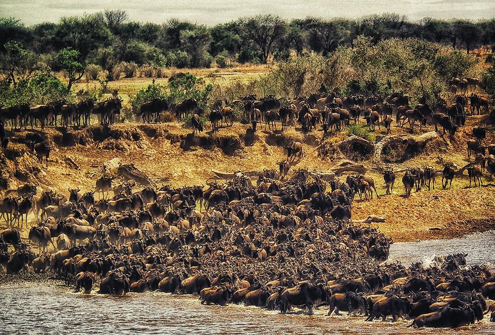 Wildebeests crossing the Mara river in the Serengeti