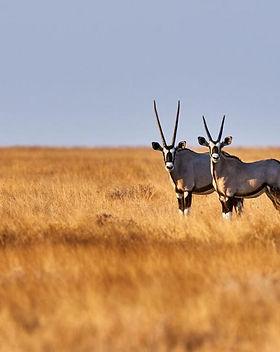 Peregrine Adventures-namibia_etosha_oryx