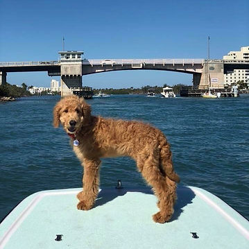 Finn enjoying Florida#wildpawdoodles #go