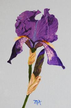 MAlexander iris.jpeg