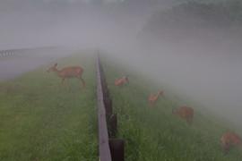 Deer in the Mist