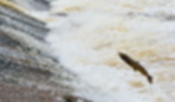 Salmon, Philiphaugh cauld