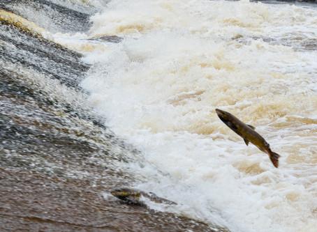 Philiphaugh Salmon Viewing | Selkirk