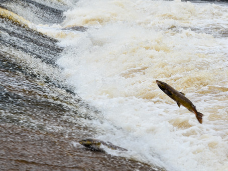 Philiphaugh Salmon Viewing | Selkirk