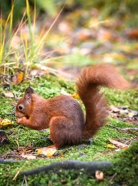 Red squirrel, Scottish Borders