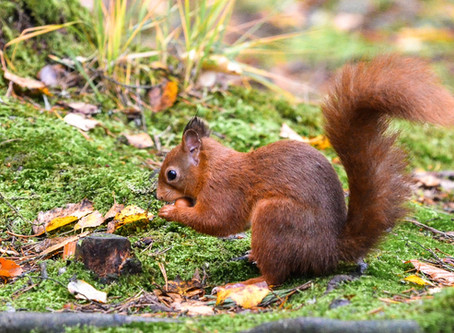 Eskrigg Reserve | Red squirrels