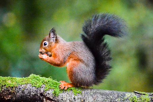 Red squirrel, Eskrigg Reserve