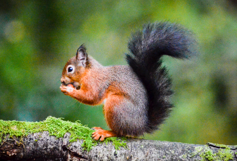 Red squirrel, southern Scotland