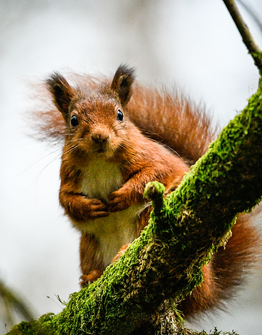 A red squirrel in the Scottis Borders
