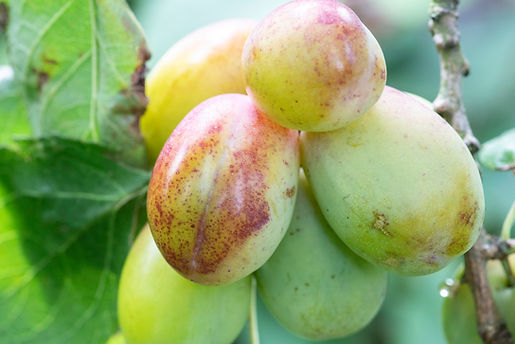 Victoria plums in the garden of The Five Turrets
