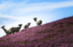 Sheep, Scottish Borders