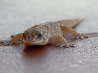 Is gecko yoga a thing yet?