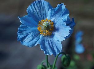 himilayan-blue-poppy-4202825_1280.jpg