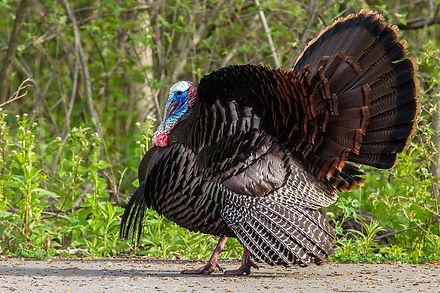 wild turkey photo.jpg