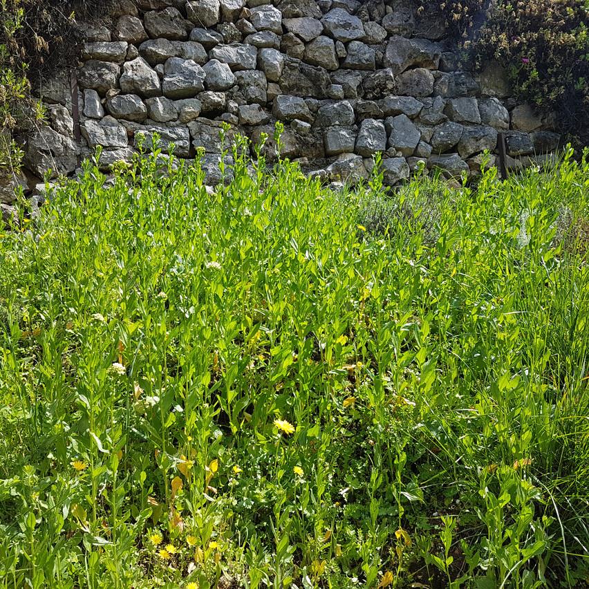 Talus couvert de brocolis sauvages