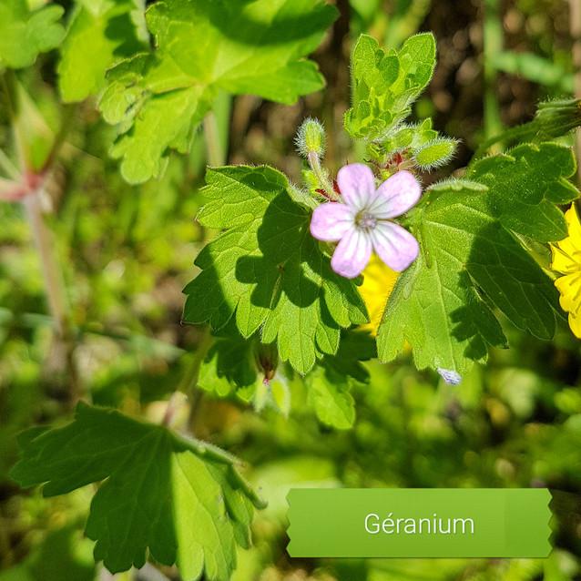 Géranium à feuille ronde