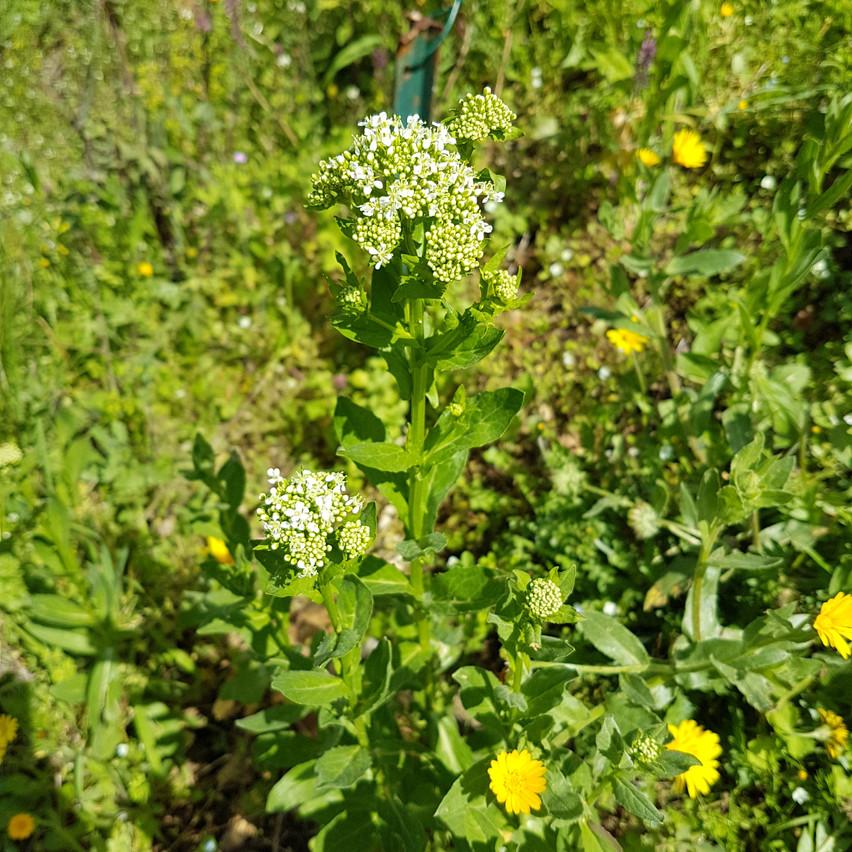 Brocoli sauvage en fleur