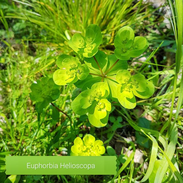 Euphorbia Helioscopa