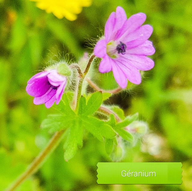 Géranium Robert
