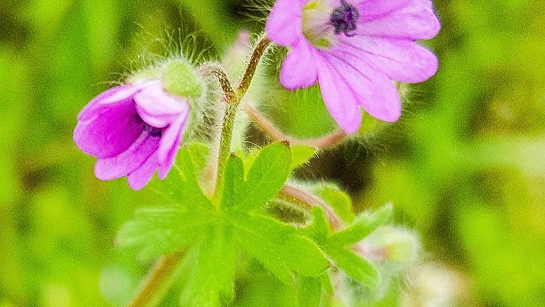Reconnaître les plantes sauvages comestibles
