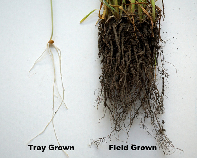 Tray Grown vs. Field Grown WheatGrass