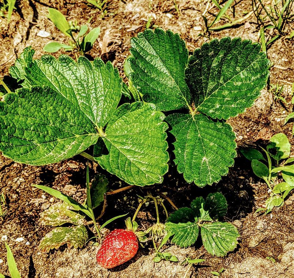 Strawberry plant.jpg