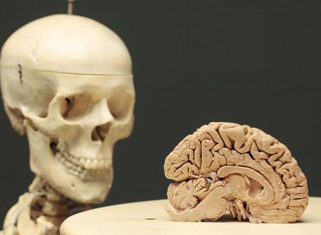 Le modèle du cerveau