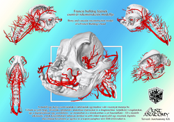 Bony and vascular model