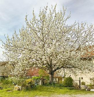 Cerisier en fleurs grellières 1.jpg