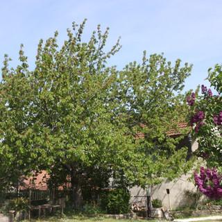 Le grand cerisier