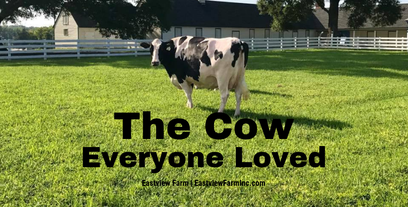 The Cow Everyone Loved