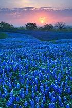 bluebonnet pic.jpg