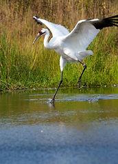 whooping crane.jpg