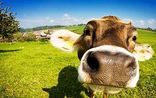 closeup cow.jpg