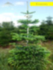 Nordmann Fir Economy Grade Christmas Tree