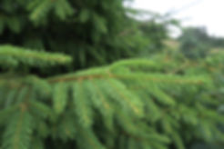 Norway Spruce needles