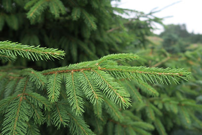 Norway Spruce needles