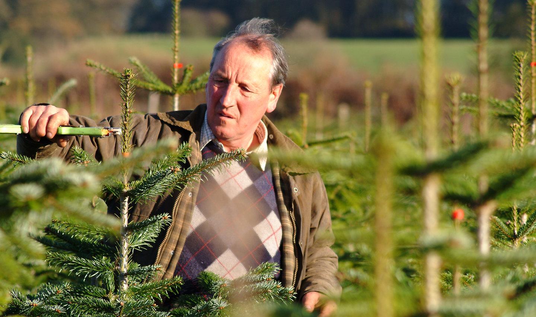 Nordmann Fir Christmas Tree pruning
