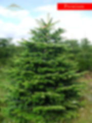 Nordmann Fir Premium Christmas Tree