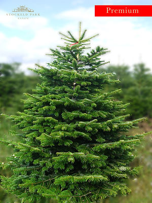 Nordmann Fir Premium Christmas Tree