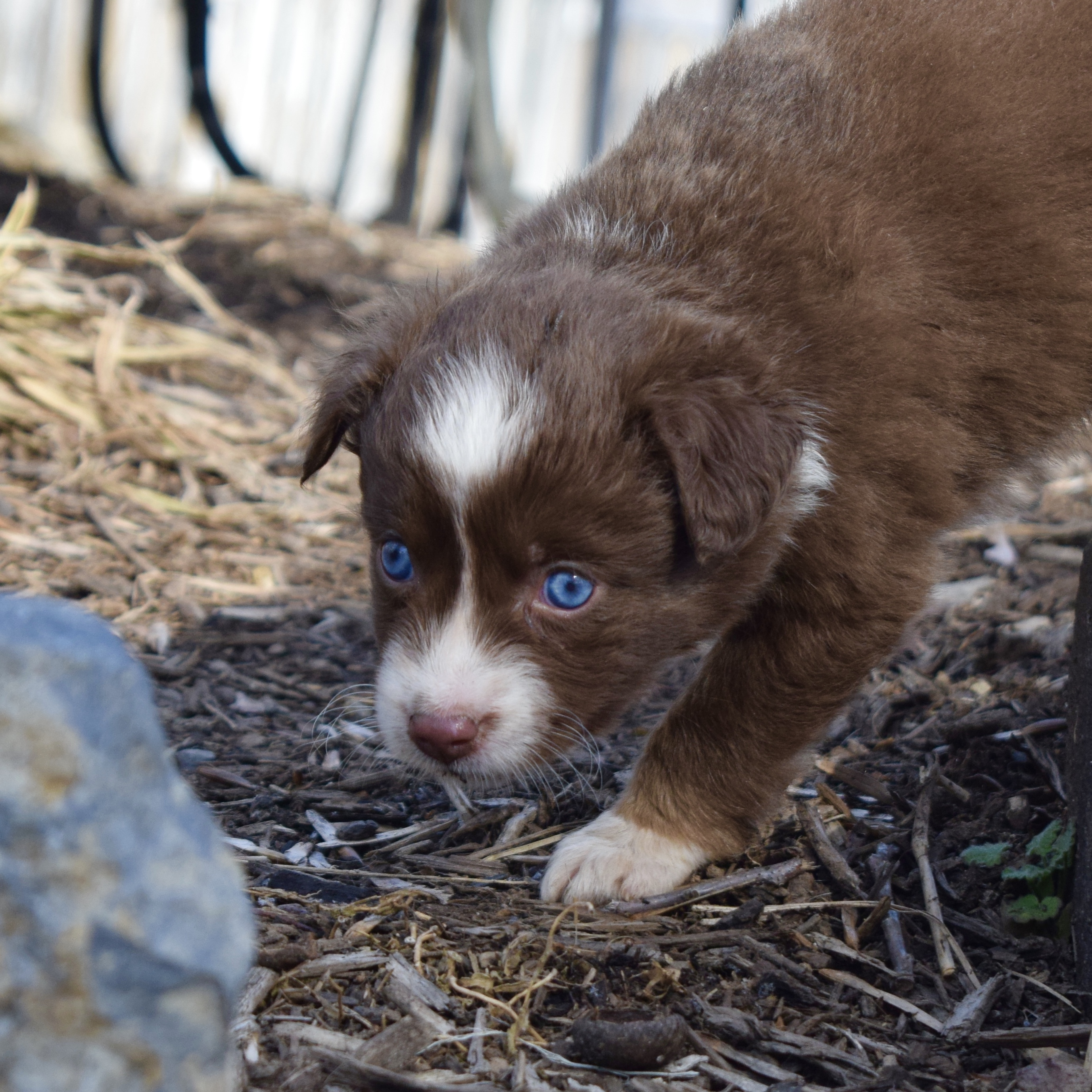 blue eye mini australian shepherd puppy