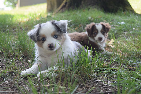 cedar moon blue merle male australian shepherd new jersey