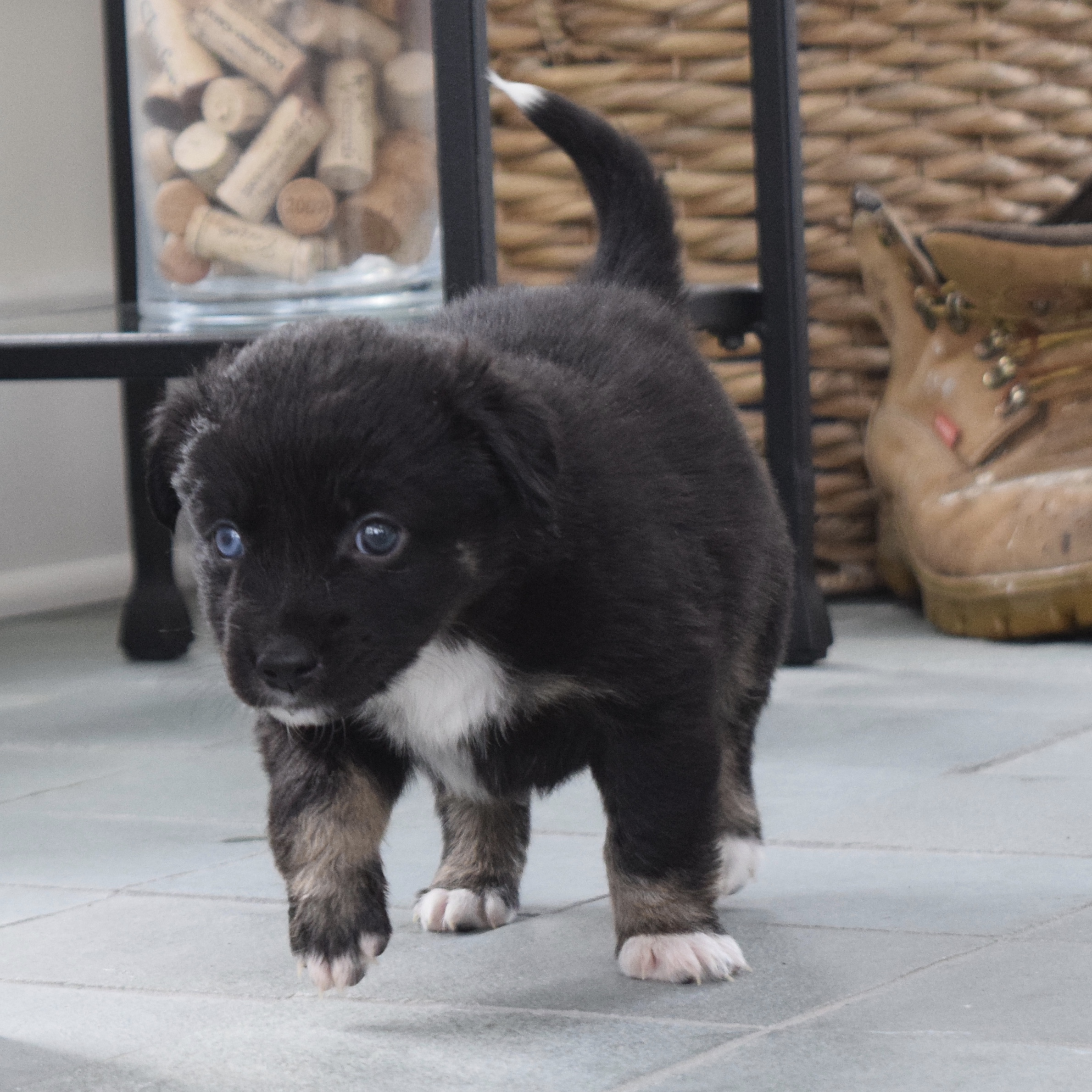 black mini american shepherd puppy cedar moon