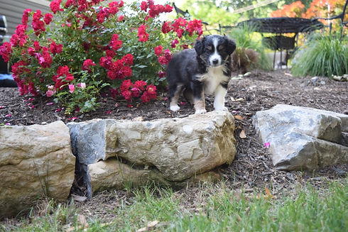cedar moon black tri female american shepherd puppy for sale