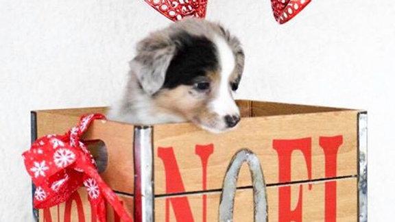 mini aussie puppy for sale