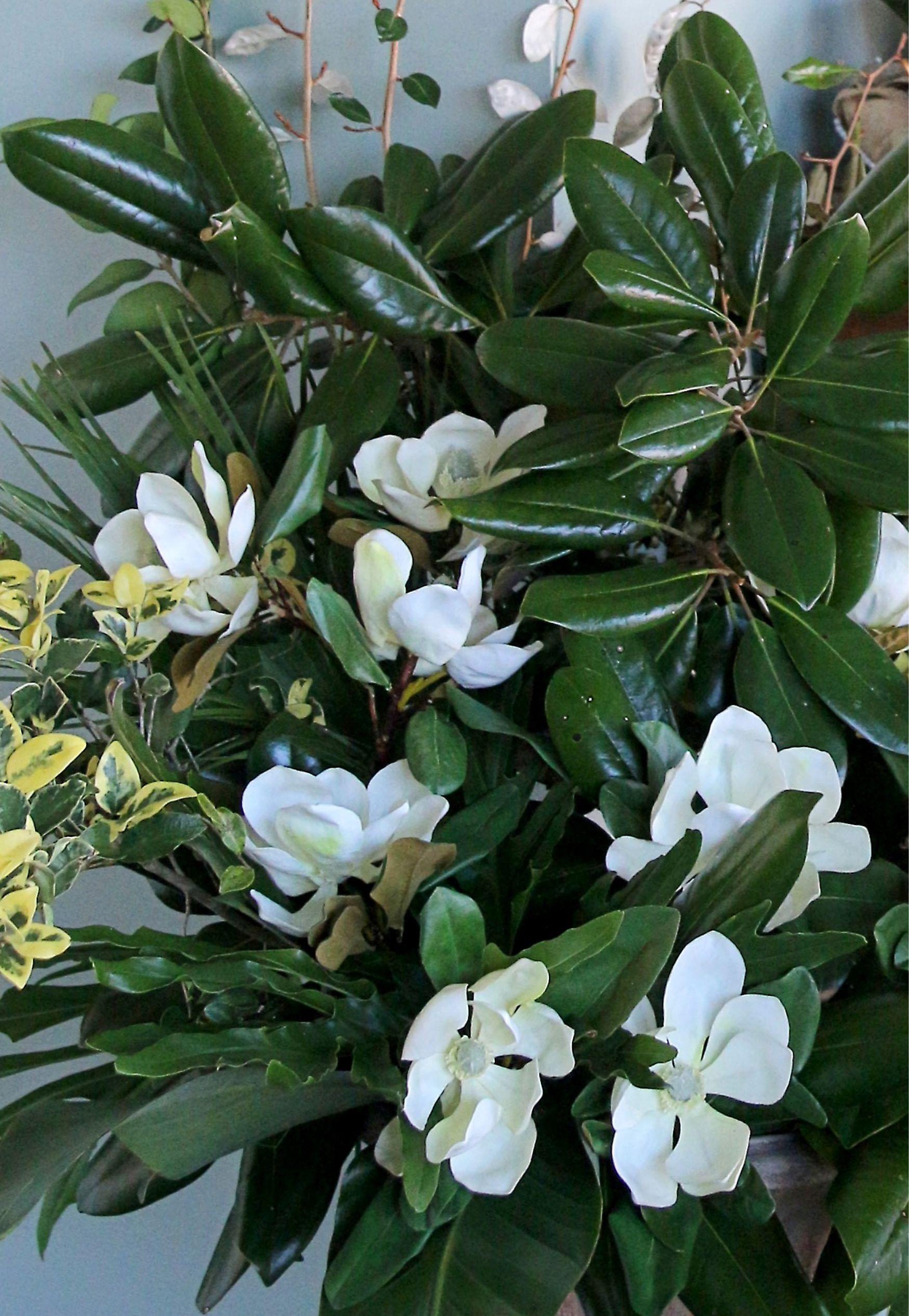 Magnolias on Display