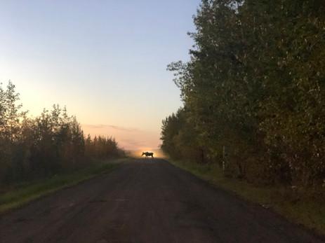 Moose Crossing - DNR Road