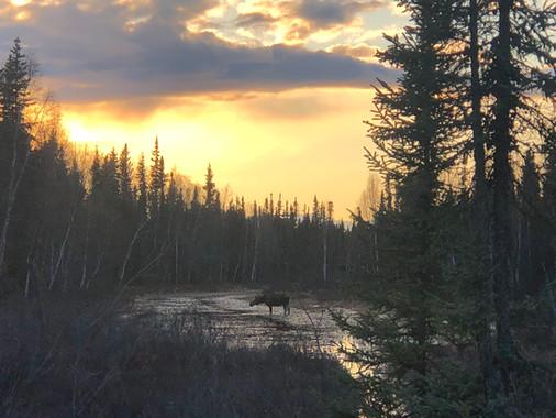 Morning Moose