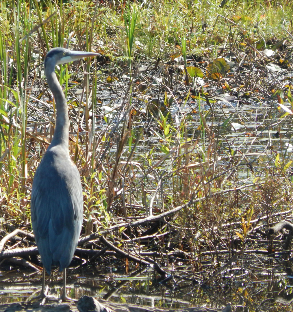 Great blue Heron of the Bay